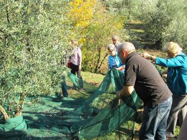 Olive harvesting tour
