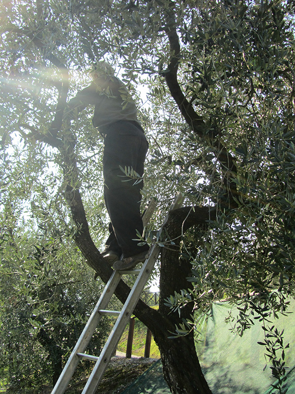 Harvest olives alongside a Tuscan farmer