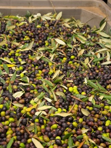 Tuscany is Italy's first producer of olives