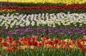 The labyrinth of Tulips