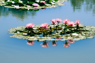 The bloom of the water lily