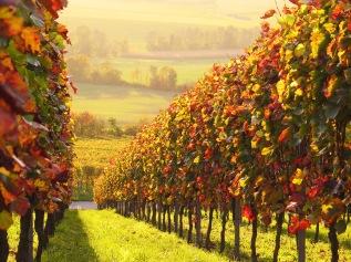 Wine of Friuli